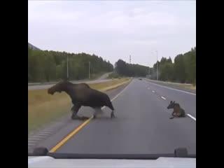 Лоси распластались на дороге
