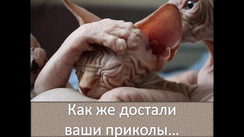 Сфинксы - кошки! Надоели им приколы! Sphyncs cat