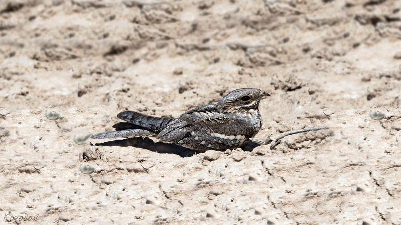 Голоса птиц Как поёт Козодой обыкновенный Caprimulgus europaeus