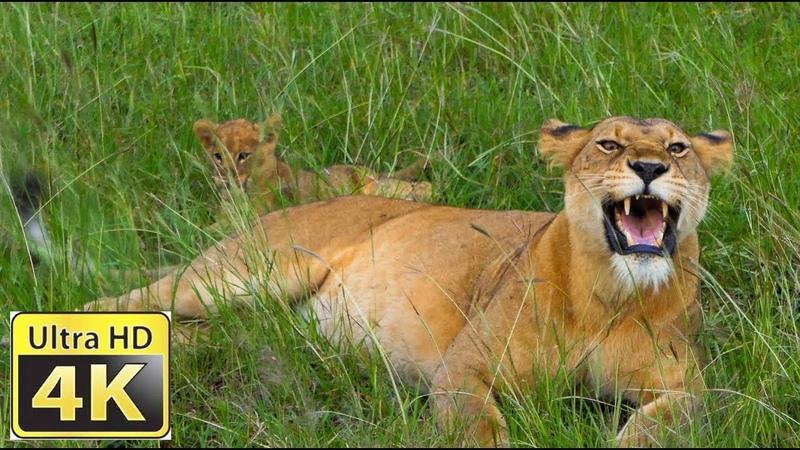 Afrikas Wildnis Amazing 4k video ultra hd