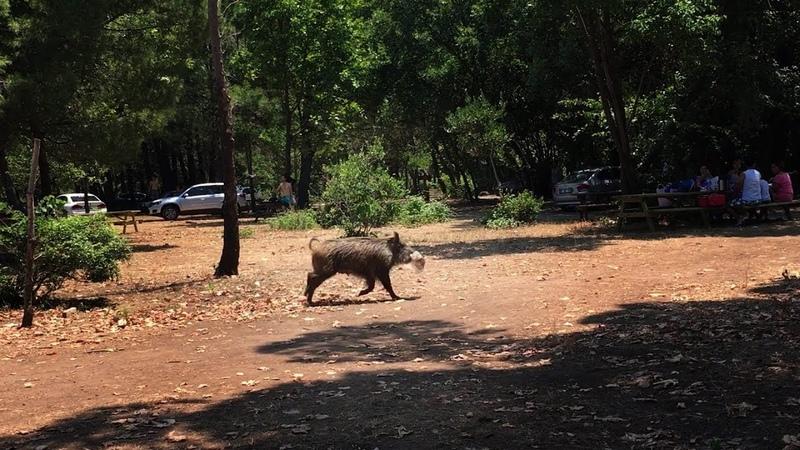 DİLEK YARIMADASI MİLLİ PARKI YABANİ DOMUZLAR DİLEK PENINSULA NATIONAL PARK AND WILD PIGS (K.DERE)