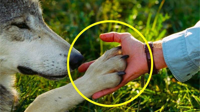 Мужчина спас эту волчицу и ее волчат но 4 года спустя