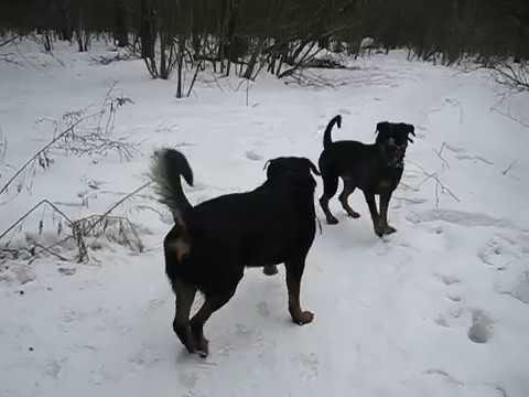 Ротвейлер Тася с Брюсом догонялки немного зимы
