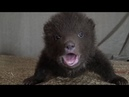 Cute Baby Bears rescue and release piccoli Orsi salvati