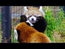 ピョンピョン跳ね回る赤ちゃんレッサーパンダ~Red Panda Baby bounce around