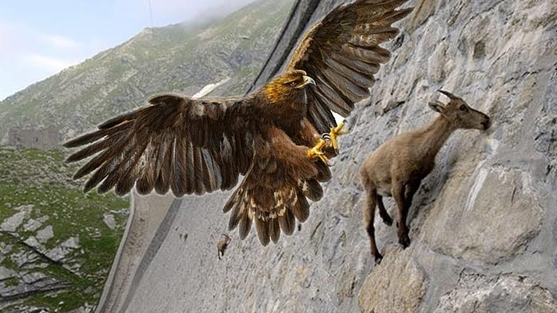 God Eagle Hunting - Động vật Ớn lạnh khi vừa nhìn thấy hung thần bầu trời Bộ móng đoạt mệnh
