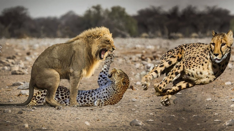 TOP 6 LION VS LEOPARD CHEETAH Big Cats Dispute Food