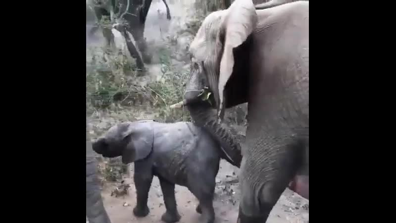 🔥 Baby Elephant coming to say hi but mom's in a hurry.