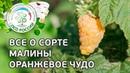 Сорт малины Оранжевое чудо. Ремонтантная малина Оранжевое чудо, описание и особенности сорта.