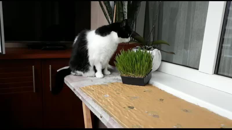 Мурыня. Кошка моего деда)