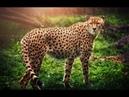 Документальный фильм про гепардов (National Geographic)