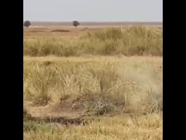 Búfalo escapa de leones entrando al agua Mtallo Tours