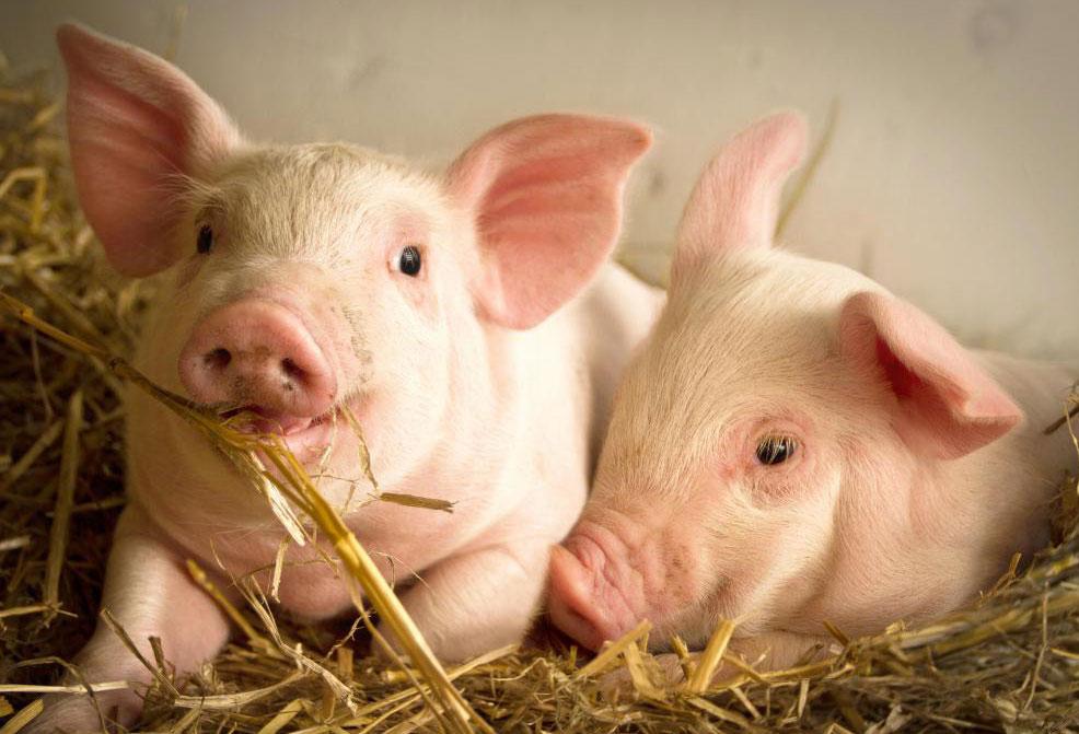Ветеринарные неврологи могут работать с домашним скотом.