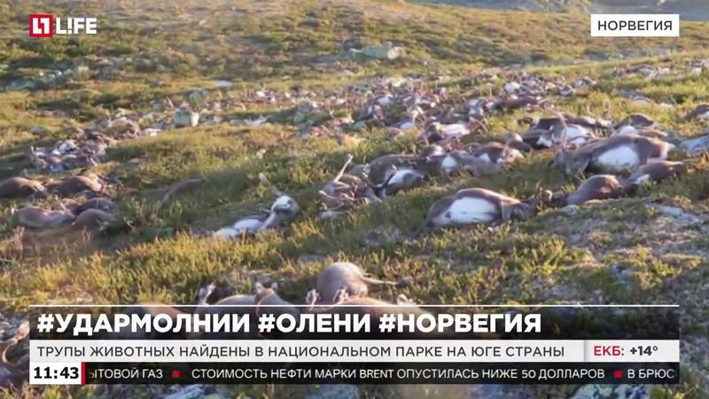 Более 300 оленей погибло от удара молнии в Норвегии