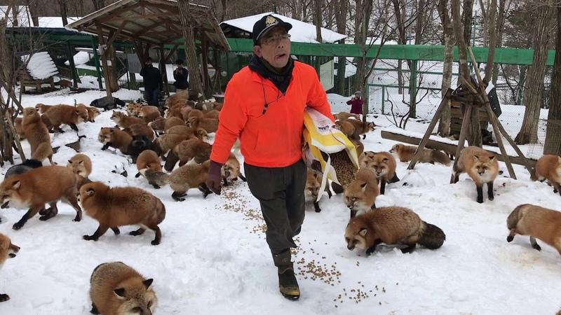 Zao Fox Village feeding time
