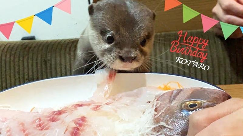 カワウソ コタロー 誕生日おめでとう!鯛の姿造りと刺身盛に大興奮6528