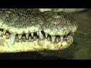 Крокодилы и жирафы парка Тайган в программе В мире животных Николая Дроздова