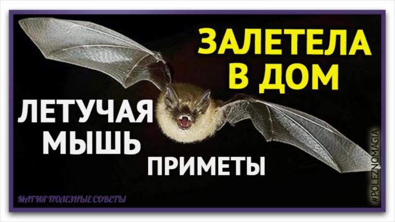 В дом залетела летучая мышь. Приметы Летучая мышь залетела в квартиру