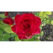 Роза чайно гибридная Ред интуишн