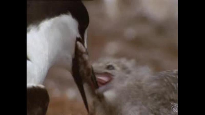 BBC Wild Australasia Дикая Австралазия