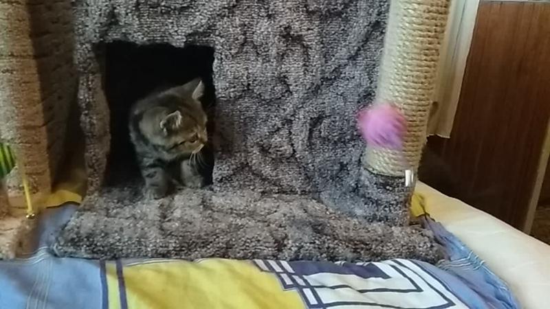 Мраморные шотландские котята Казань