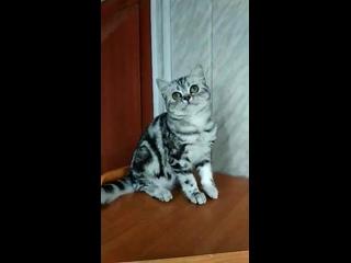 Британский котенок: кошка, черная серебристая мраморная.