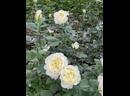 Плантация голландских роз выращенные компанией «Нурлы Мейдан»