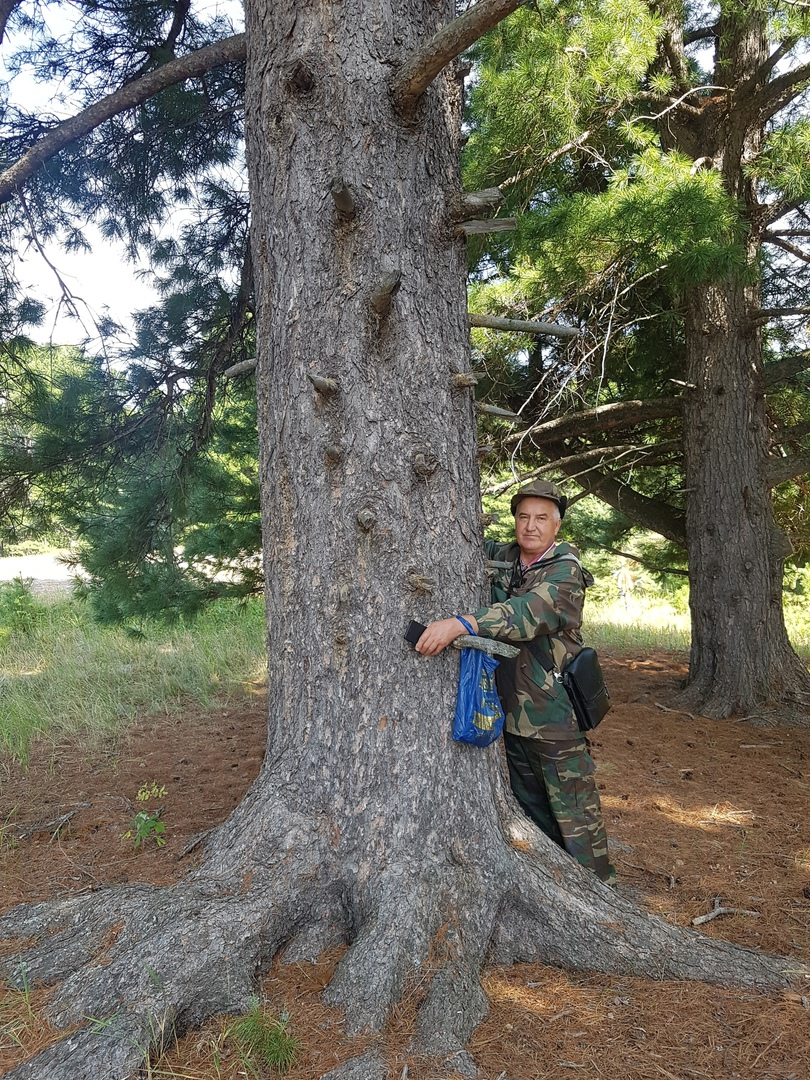 кедр памятника природы «Ильичевский бор»