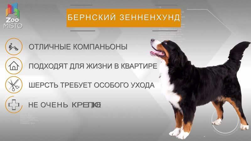 Бернский зенненхунд Все о породе собаки Собака породы бернский зенненхунд