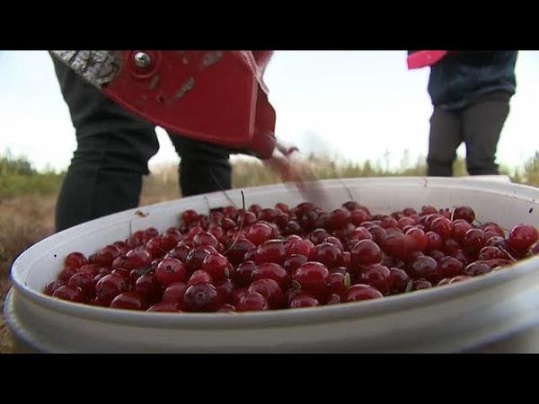 В Латвии ходят по клюкву зимой