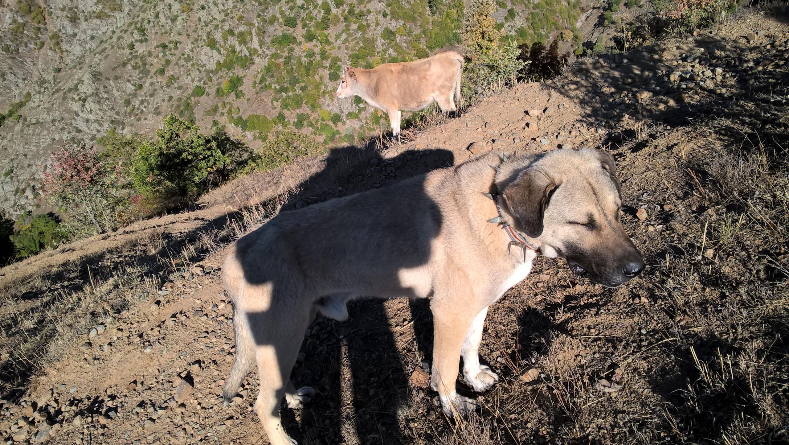 Пастушеский пёс