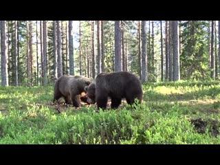 Best bear fight ever
