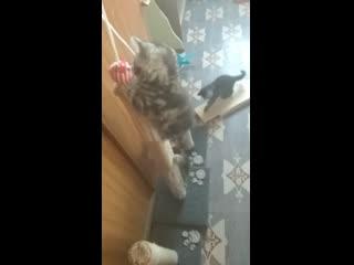 Продаем мраморных шотландских котят. Казань