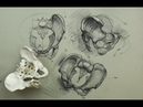ANATOMY FOR ARTISTS The Pelvis-Constructions and general parts to know for drawing