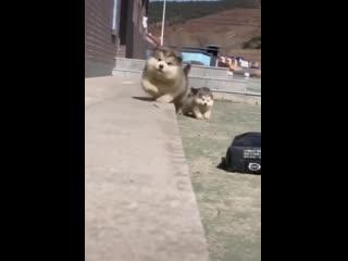 Ничего особенного, просто посмотри как мило падают щеночки